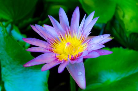 Lotus flower fairy the most beautiful flower 2017 lotus flower fairy korean drama europe trailers vic mightylinksfo