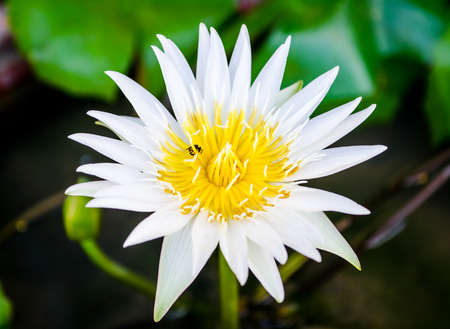 bee on flower: The beautiful white lotus flower and bee