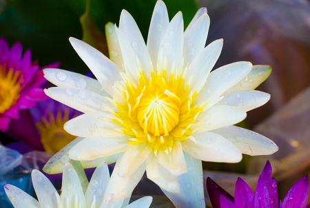 white lotus flower: The beautiful white lotus flower fairy in Thailand Stock Photo