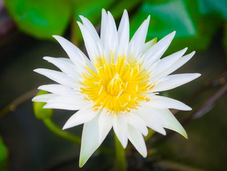 white lotus flower: The beautiful white lotus flower