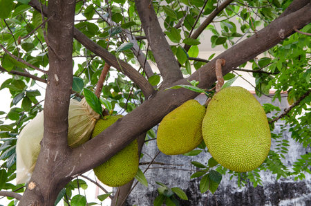 wooing: Fruit in Thailand named Jack