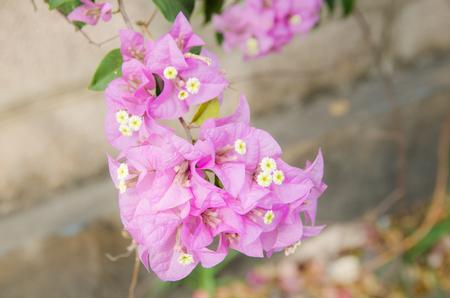 wooing: pink flower in summer inthailand