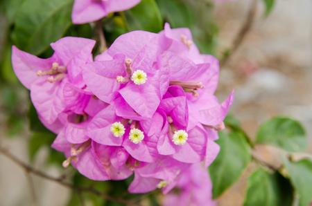 wooing: purple flower summer in thailand