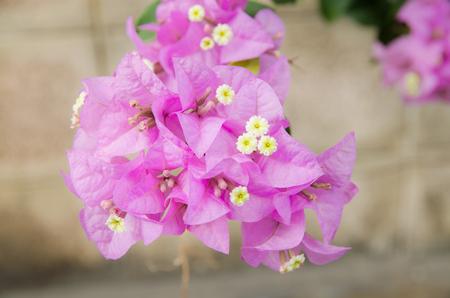 woo: Purple flowers in the winter. Stock Photo