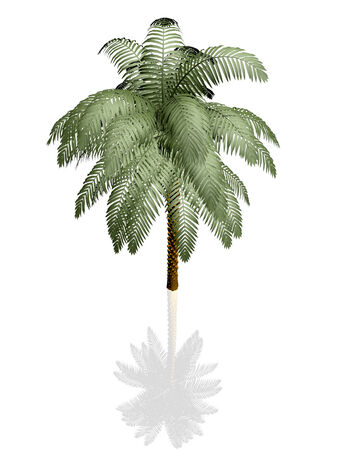 growth hot: Palm tree on white background with reflection