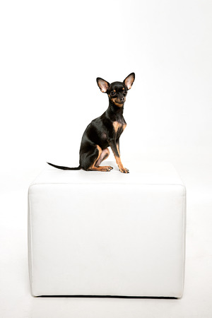 footstool: Beautiful toy terrier, sitting on white leather footstool Stock Photo