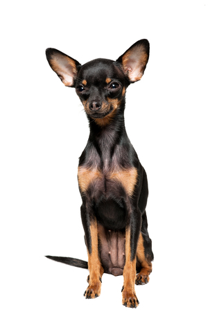 miniature breed: Beautiful toy terrier, isolated on white background Foto de archivo