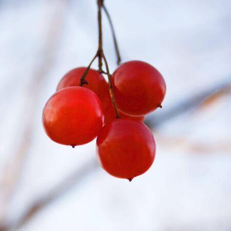 bunch of wild raspberries Stock Photo
