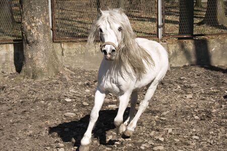 little white horse running