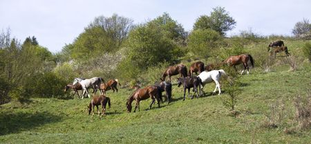 beautiful pedigree horses grazing on meadow photo