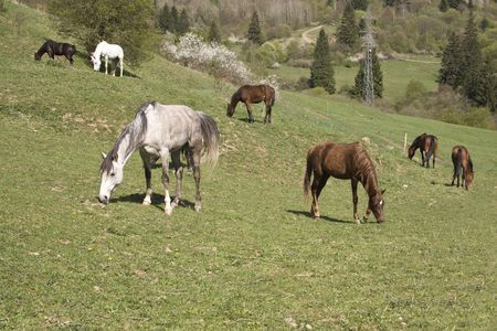 beautiful pedigree horses on hill