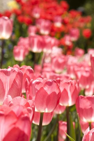 closeup to tulips in the garden Stock Photo - 4794777