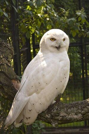 white siberian owl