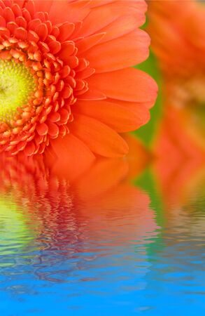 gerbera flower in water photo