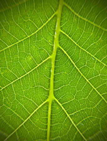 veining: green leaf  Stock Photo