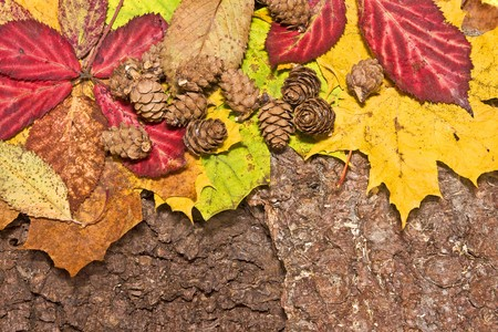 autumn grunge: colrful leaves and cones on bark background