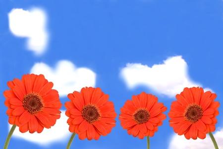 gerbera flowers on blue sky photo