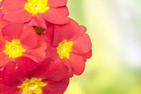 red primrose  photo