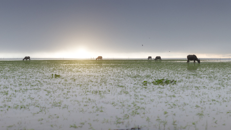 sunrise during fog and buffalo eating grass Zdjęcie Seryjne