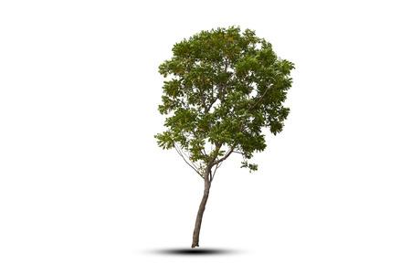 isolate of incline tree on white background Zdjęcie Seryjne