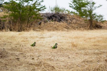 loros verdes: dos loros verdes en el fondo de hierba amarilla