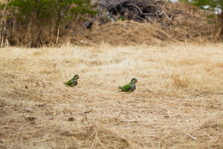 loros verdes: two green parrots on yellow background