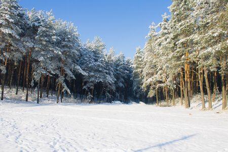 pinewood: winter snowy pinewood landscape