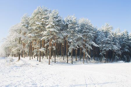 pinewood: winter snowy pinewood landscape background