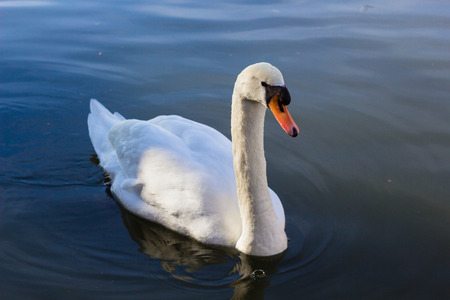 Bacground: One white swan on blue water bacground Stock Photo