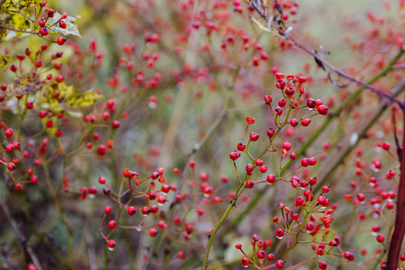 red berries in yelow autumn forest