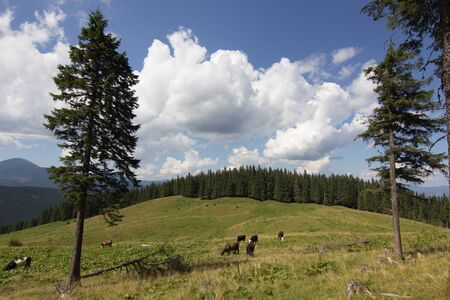 cloudscapes: Cows on meadow with mountains range and blue cloudy sky background landscape
