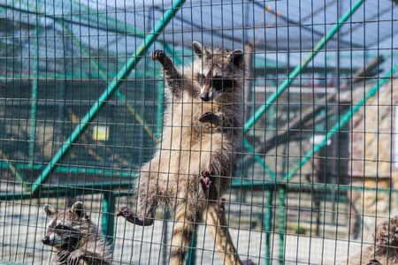 Raccoon hanging on green cage in zoo Stock Photo