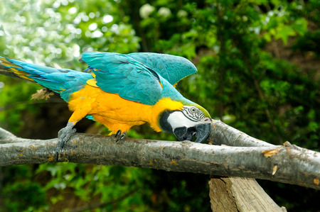 green winged macaw: Blue and yellow macaw on the branch