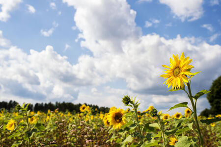 helianthus annuus: Field of sunflowers (Helianthus annuus) in the Lueneburg Heath region, Lower Saxony, Germany