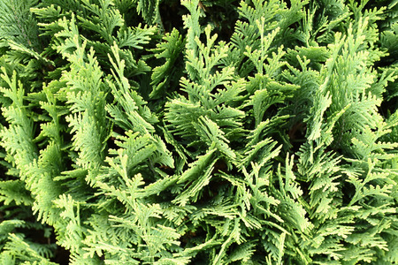 thuja occidentalis: Thuja occidentalis is an evergreen coniferous tree, in the cypress family Cupressaceae, which is native to the northeast of the United States and the southeast of Canada