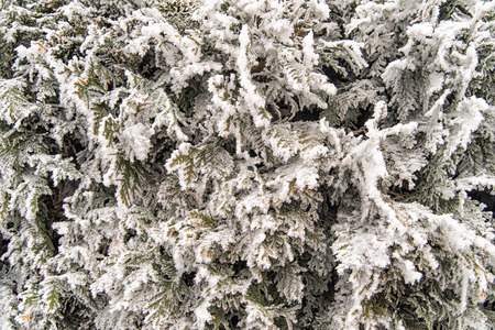 thuja occidentalis: Frozen Thuja occidentalis with snow, winter background.Thuja occidentalis is an evergreen coniferous tree, in the cypress family Cupressaceae, which is native to the northeast of the United States and the southeast of Canada