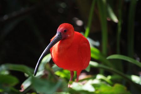 Scarlet Ibis (Eudocimus ruber) - red tropical bird Archivio Fotografico
