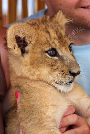 lion cub: Girl playing with a cute little lion cub Stock Photo