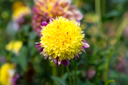 tuberous: yellow  Dahila, selective focus.Dahlia is a genus of bushy, tuberous, herbaceous perennial plants native mainly in Mexico, but also Central America, and Colombia Stock Photo