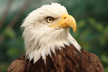 Portrait of a bald eagle,  lat. haliaeetus leucocephalus