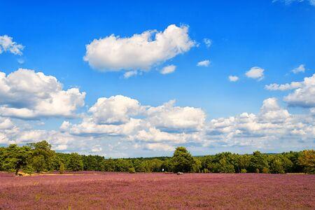 heathland: Heathland with flowering common heather (Calluna vulgaris) and an oak in the Lueneburg Heath (Lueneburger Heide) in Lower Saxony, Germany