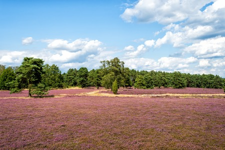 heathland: Heathland with flowering common heather (Calluna vulgaris) and an oak in the Lueneburg Heath (Lueneburger Heide) in Lower Saxony, Germany. HDR