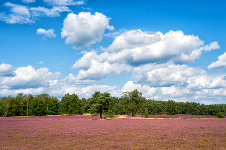 Heathland with flowering common heather (Calluna vulgaris) and an oak in the Lueneburg Heath (Lueneburger Heide) in Lower Saxony, Germany. HDR
