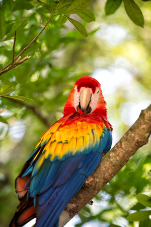 beautiful cute funny bird of red feathered ara parrot outdoor on green natural background