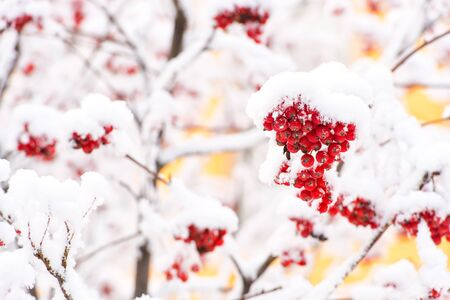 red ashberry branch covered with snow in winter at christmas or new year holidays isolated on white background, copy space