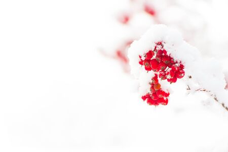 sorb: red ashberry branch covered with snow in winter at christmas or new year holidays isolated on white background, copy space