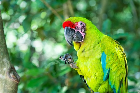 beautiful cute funny bird of red feathered ara macaw parrot outdoor on green natural background