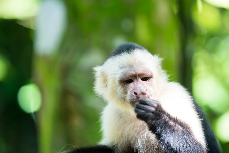 Capuchin with white head fur. Primate in jungle on sunny day. Wildlife and nature concept. Wild animal on blurred natural background. Monkey resting in rainforest of Honduras. Stock Photo