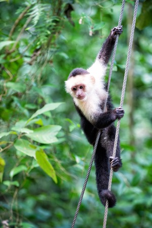 Primate animal or monkey hanging on cable in rainforest of Honduras on sunny summer day on green natural background. Wildlife and nature concept