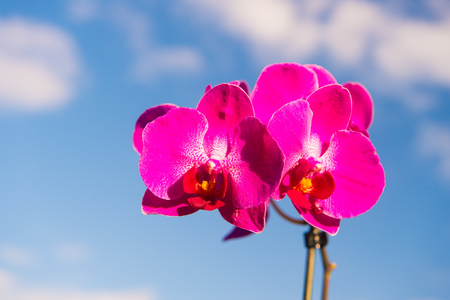 Orchid flower on blue sky background. Phalaenopsis Orchid flower. Floral background.